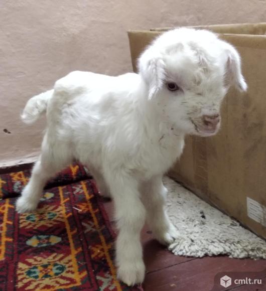 Продам козленка и козу. Фото 1.