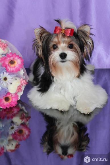 Красивые щенки бивер йорка а ля пом пон. Фото 1.