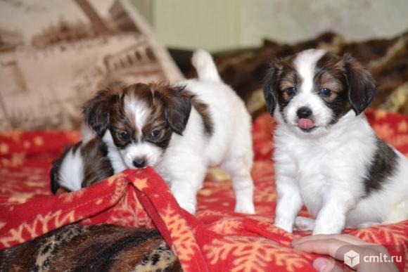 Продаем щеночков папильона (с родословной). Фото 13.