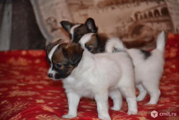 Продаем щеночков папильона (с родословной). Фото 1.