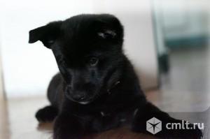Продам щенка норвежской лайки. Фото 1.