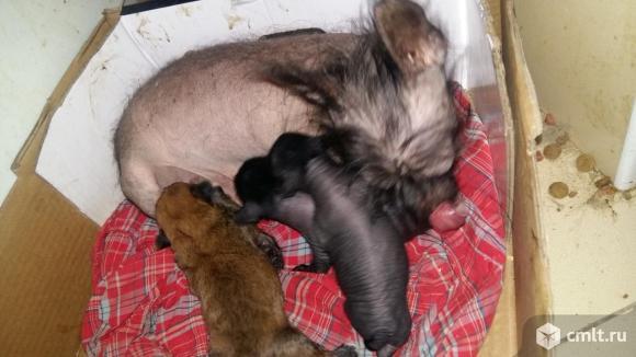 Китайские хохлатые микро щеночки. Фото 4.
