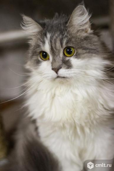 Шикарный кот Миша ищет хозяина. Фото 3.