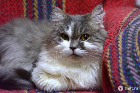 Шикарный кот Миша ищет хозяина. Фото 1.