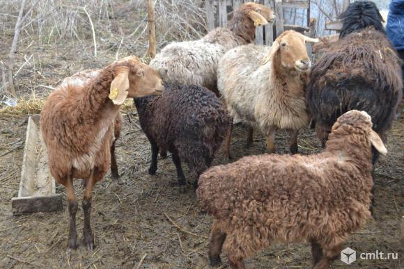 Гиссарские овцы. Молодняк и взрослые. Фото 1.