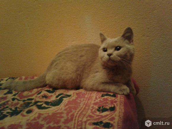 Бежевый  котенок  в  добрые  руки. Фото 1.