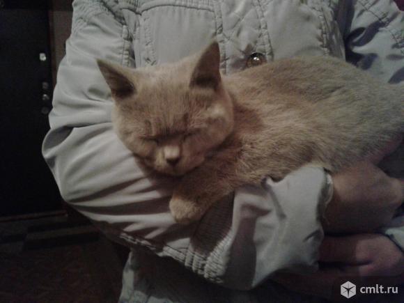 Бежевый  котенок  в  добрые  руки. Фото 4.