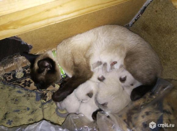 Тайские котята. Фото 1.