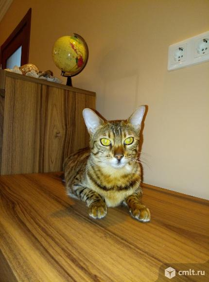 Бенгальская кошка. Фото 1.