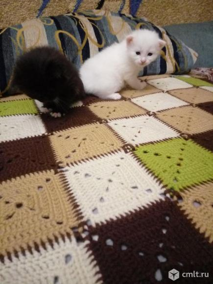 Белые котята. Фото 4.