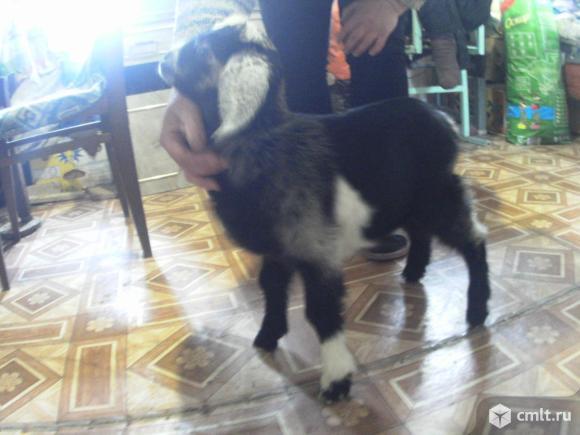Нубийские процентные козлята. Фото 1.