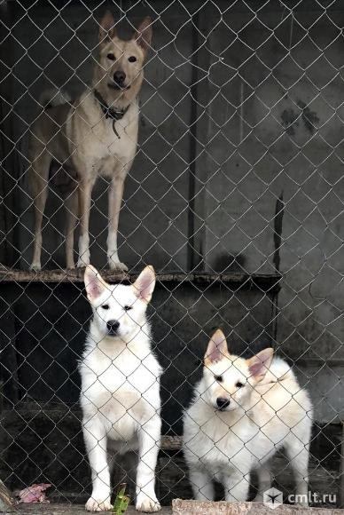Лайка щенки. Фото 1.