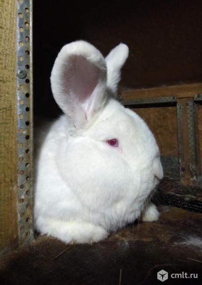 Продам новозеландских кроликов.. Фото 1.