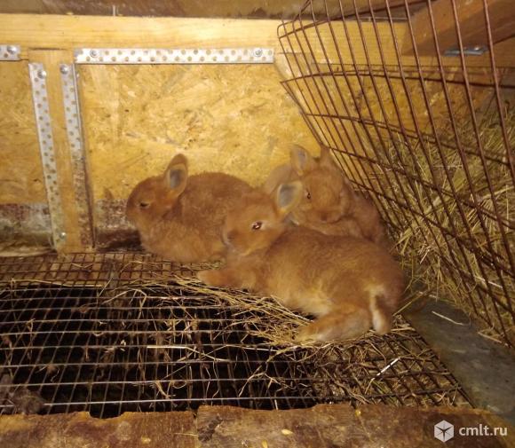 Продам новозеландских кроликов.. Фото 9.