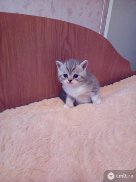 Продаётся шотландский котёнок. Фото 1.