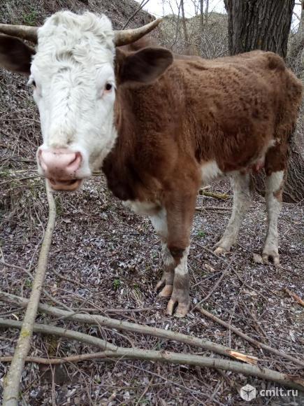Коровы. Фото 8.