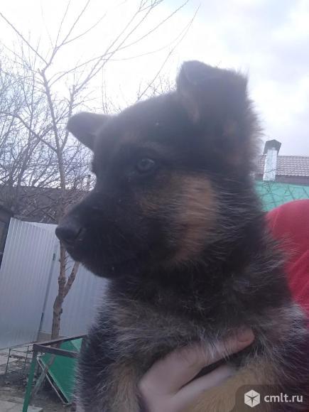 Продам щенков. Фото 5.