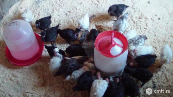 Цыплята голошейные. Фото 5.