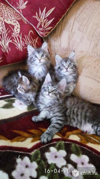 Котята Мейн-кун. Фото 1.