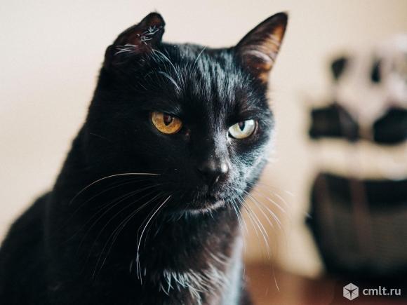 Ищет дом идеальная кошка Пышечка. Фото 1.