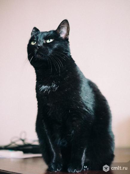 Ищет дом идеальная кошка Пышечка. Фото 2.