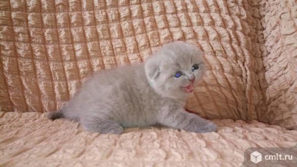 Британские котята скоттиш-фолд. Фото 3.