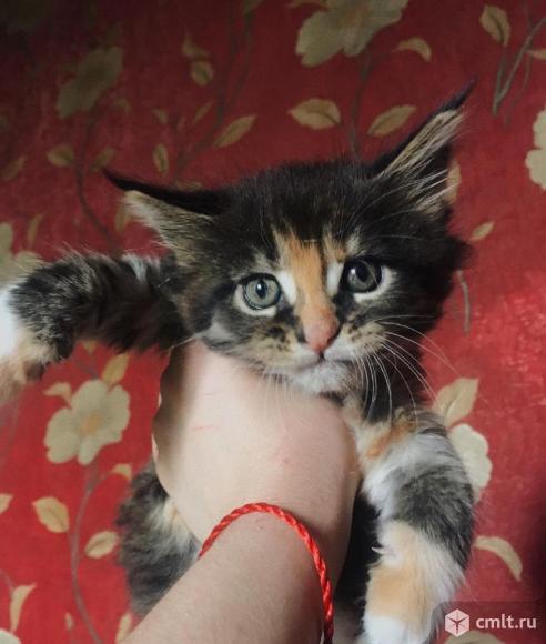 Котята мейн кун. Фото 1.