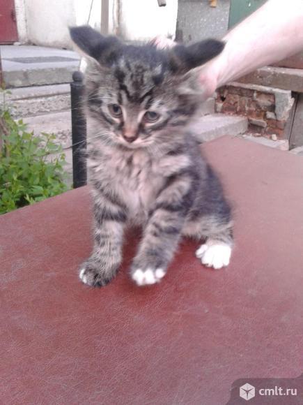Котенок  серого  окраса. Фото 1.