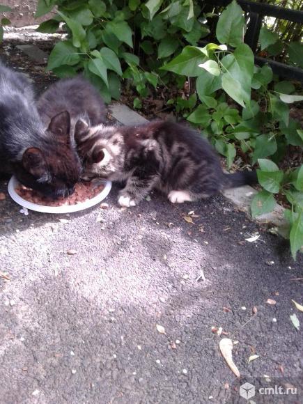 Котенок  серого  окраса. Фото 7.