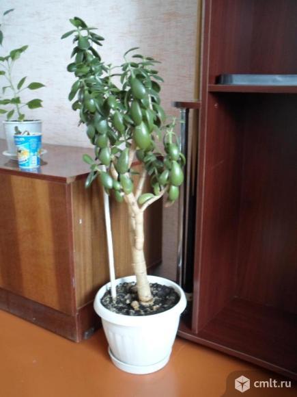 """Продается цветок """"Денежное дерево"""". Фото 1."""