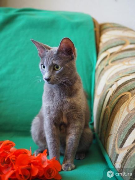 Стерилизованная ориентальная кошка в дар. Фото 1.