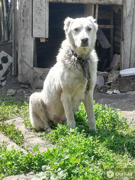 Продаю щенят алабая. Фото 3.