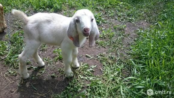 Молочные дойные козы, козочеи, козлики. Доставка по городу и области.. Фото 1.