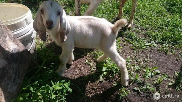 Молочные дойные козы, козочеи, козлики. Доставка по городу и области.. Фото 18.