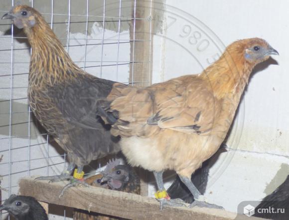 Яйцо, цыплята, молодняк Ухейилюй и Лакеданзи. Фото 1.