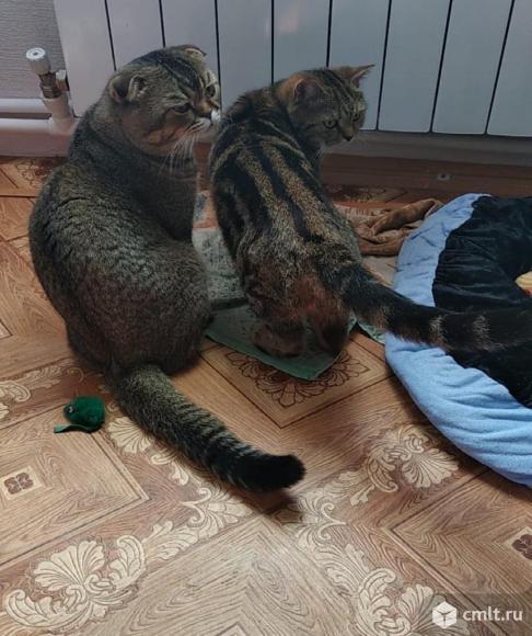 Продаю шотландских котят(привиты). Фото 13.