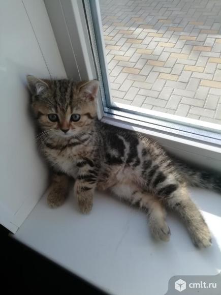 Продаю шотландских котят(привиты). Фото 1.