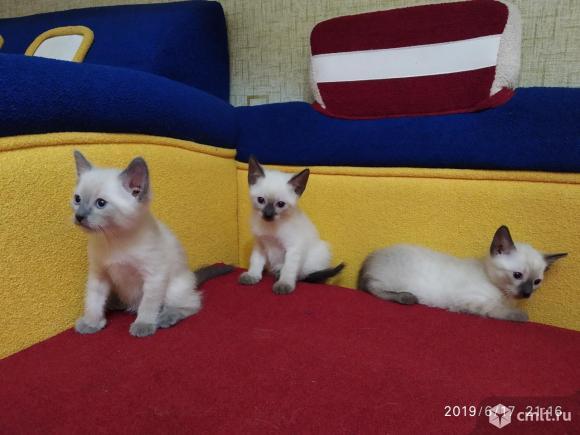 Сиамские котята. Фото 1.