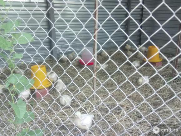 Цыплята бройлер. Фото 1.