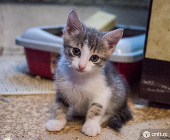 Серо-белый котенок в добрые руки. Фото 1.