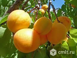Саженцы абрикоса. Фото 1.