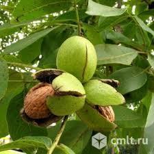 Грецкий орех. Фото 1.