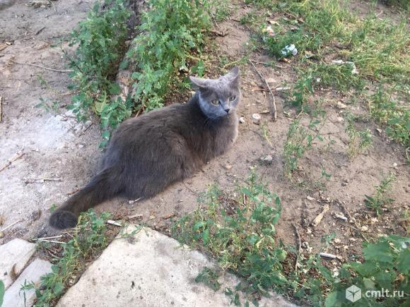 Пропала дымчатая кошка в ю.з.. Фото 3.