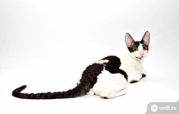 Предлогаются к продаже котята породы корниш-рекс. Фото 7.