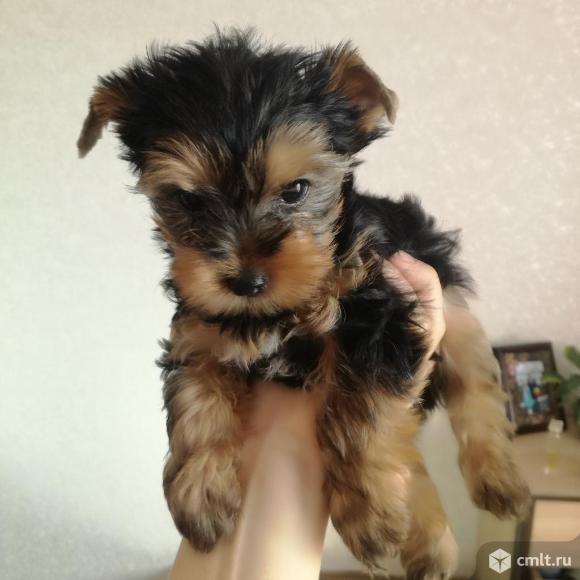 Продам щенков йоркширского терьера. Фото 10.
