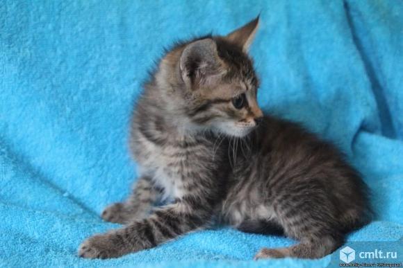 Котенок серого окраса в добрые руки. Фото 3.