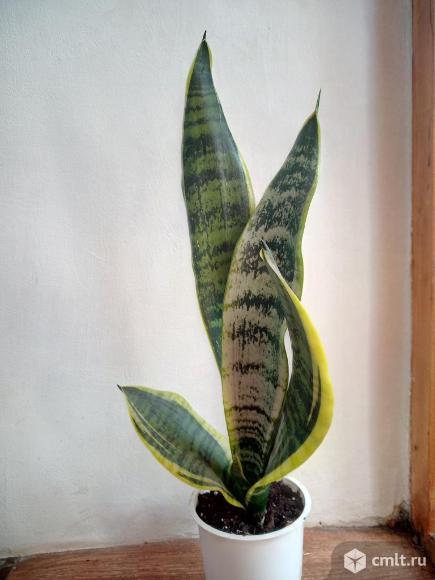 Комнатные цветы. Фото 10.