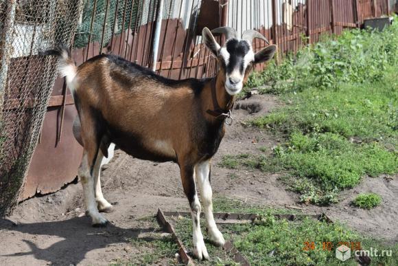 Дойные козы. Фото 1.