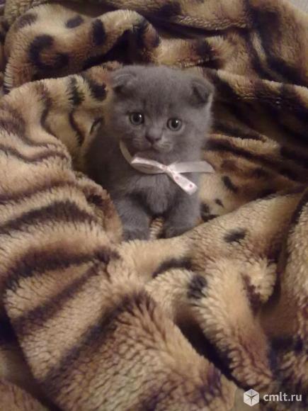 Шотландские вислоухие котята. Фото 1.