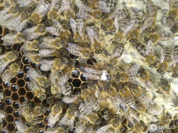 Пчелопакеты. Фото 1.